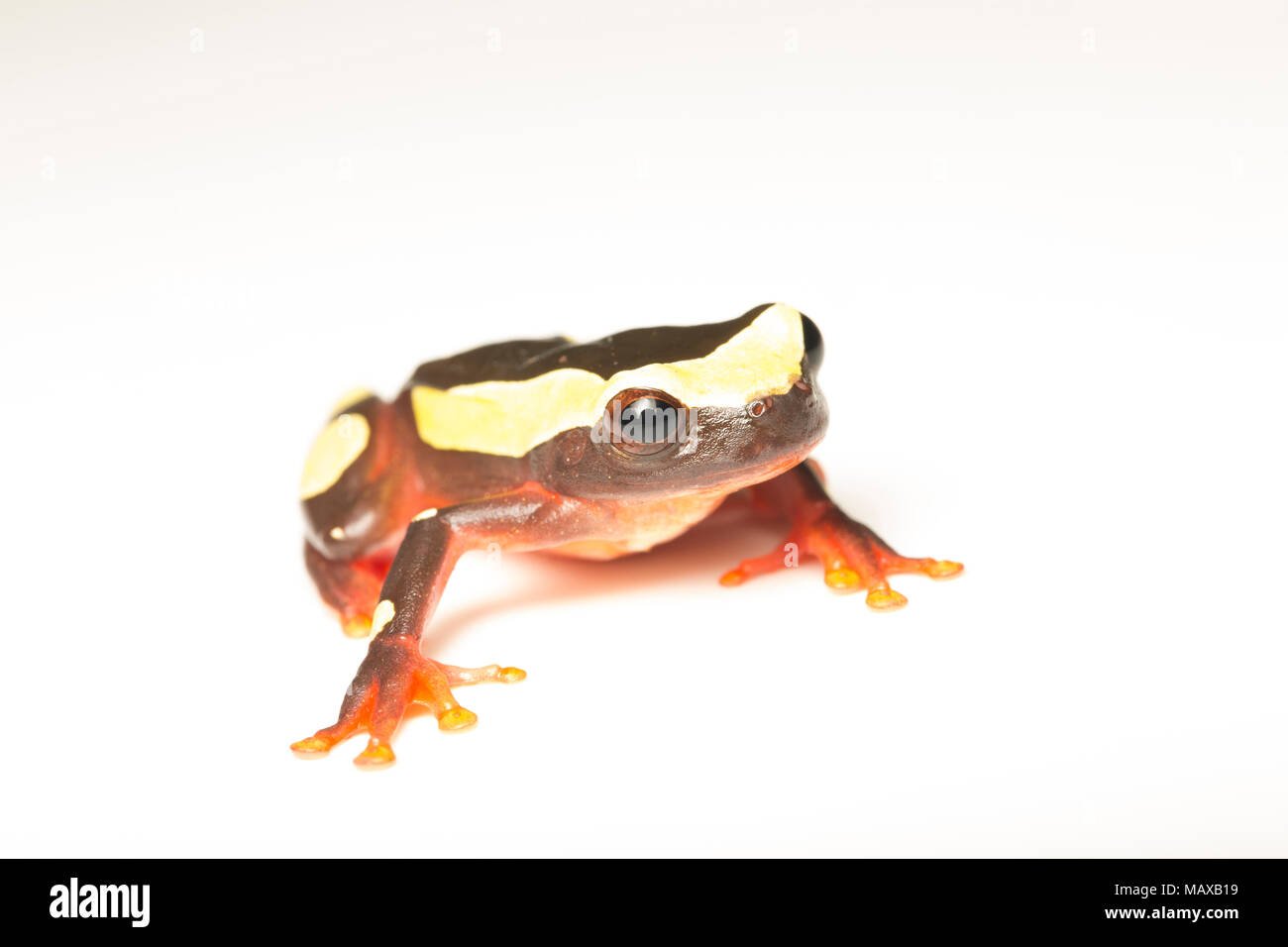 A clown tree frog, Dendropsophus leucophyllatus, on a white background, photographed near Bakhuis in the jungles of Suriname, South America. - Stock Image