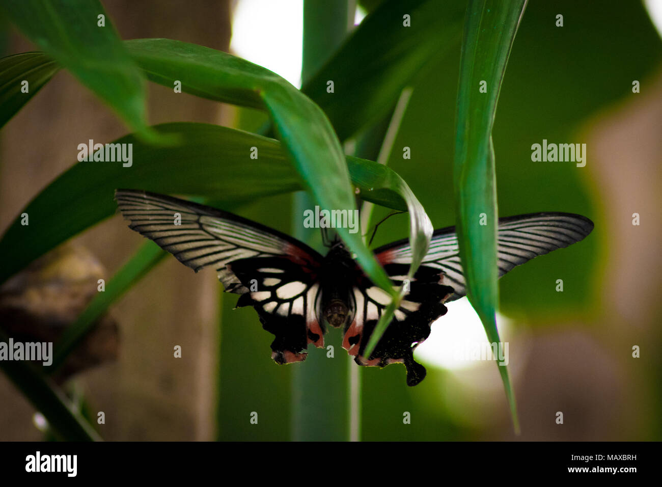 Great Yellow Mormon Butterfly Stock Photo