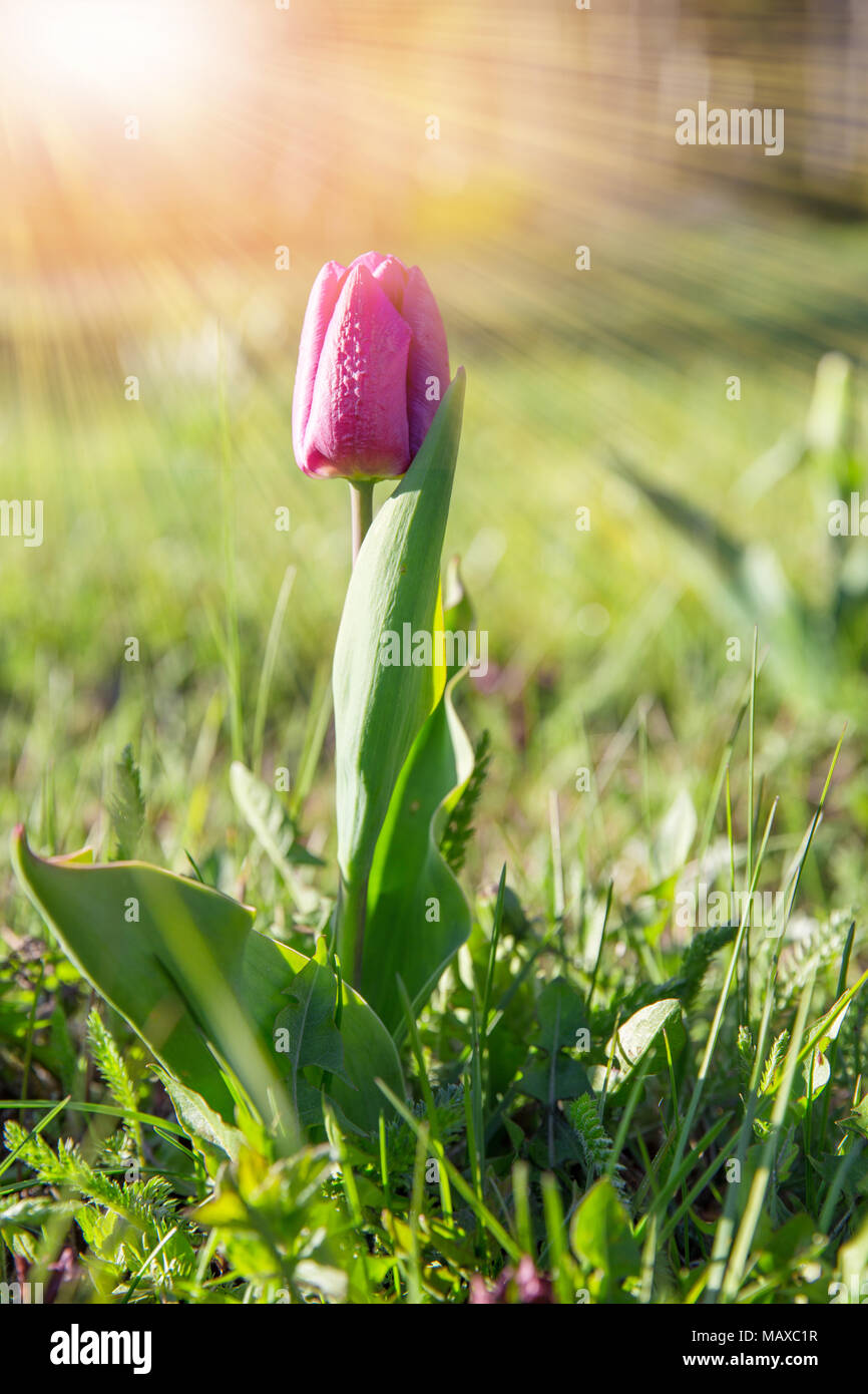 Spring flower pink tulip in the garden under the rays of the sun Stock Photo