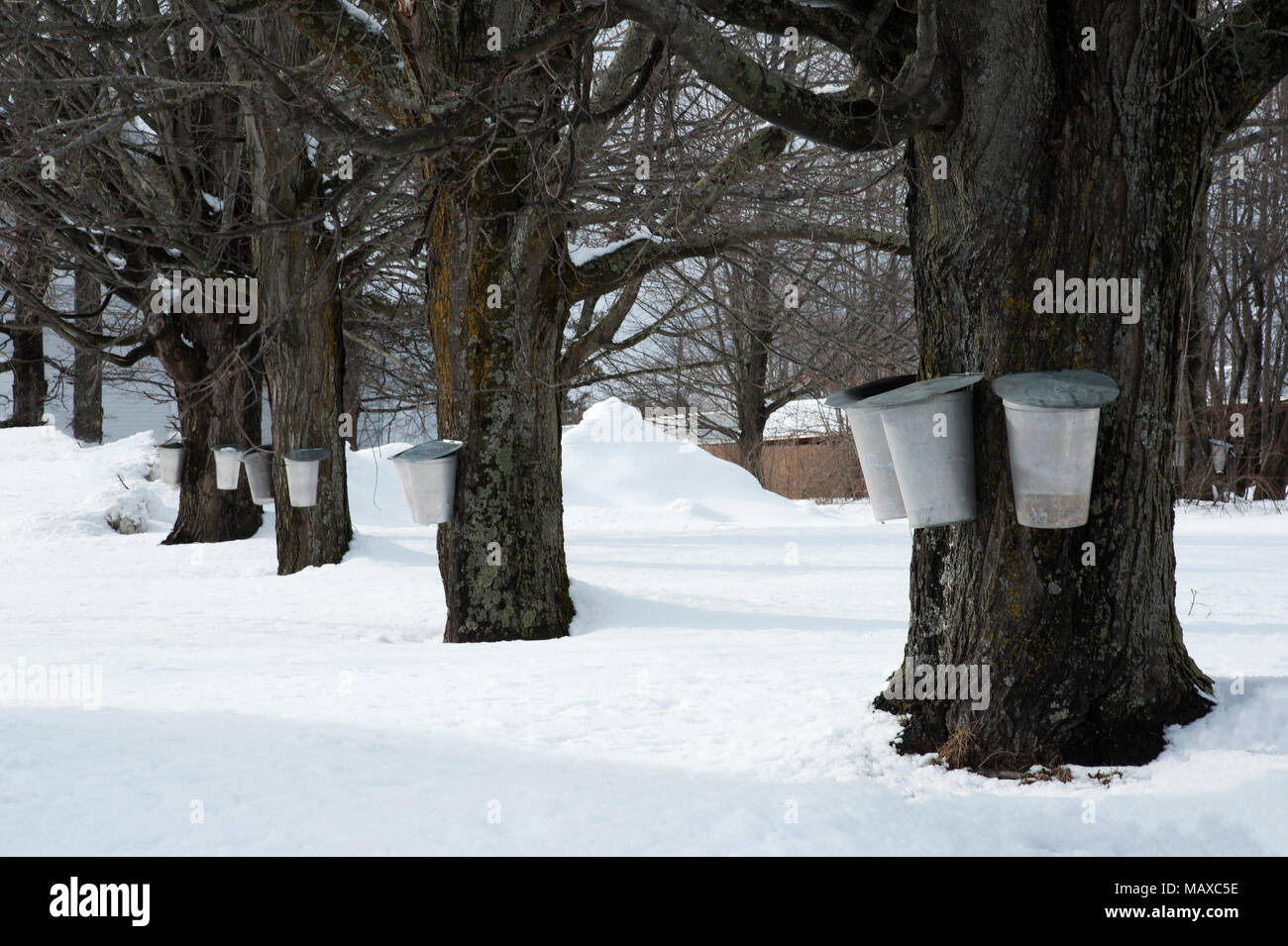 Traditional buckets collecting sap from old maple trees after a snowfall to make maple syrup in early spring in New England. - Stock Image