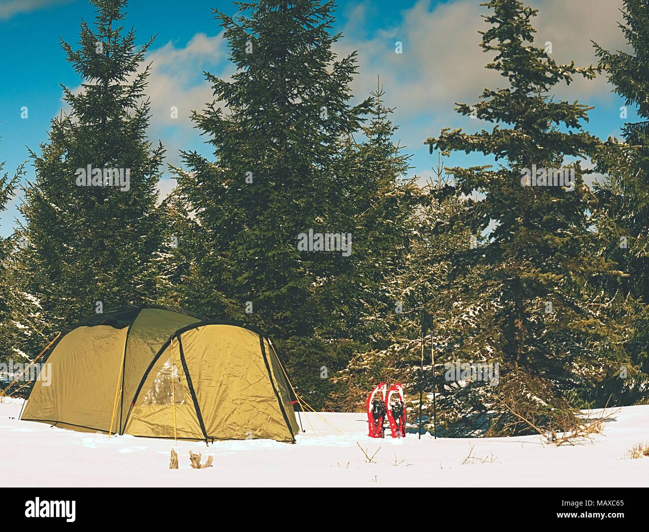 Camping during winter hiking in mountains. Green touristic tent under spruces. - Stock Image
