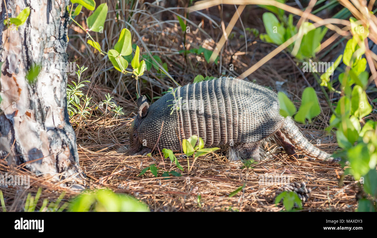 Armadillo (Dasypus novemcinctus) from site, Honeymoon Island State Park, Florida, USA - Stock Image