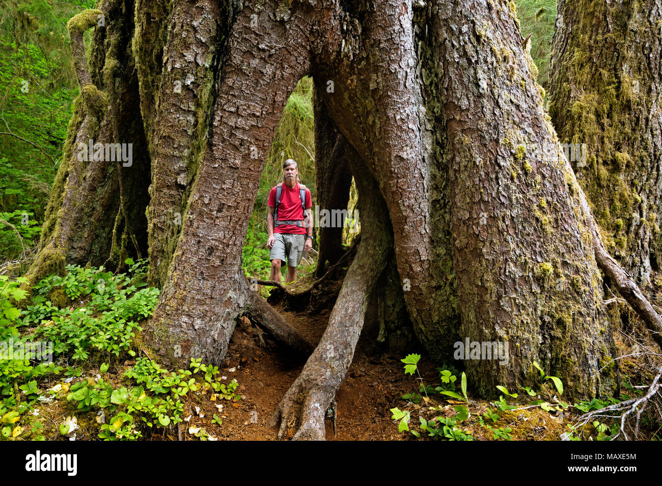WA15005-00...WASHINGTON - Hiker inspecting a large tree that got its start on a nurse log and now has an open space at the bottom in the Hoh Rain Fore - Stock Image