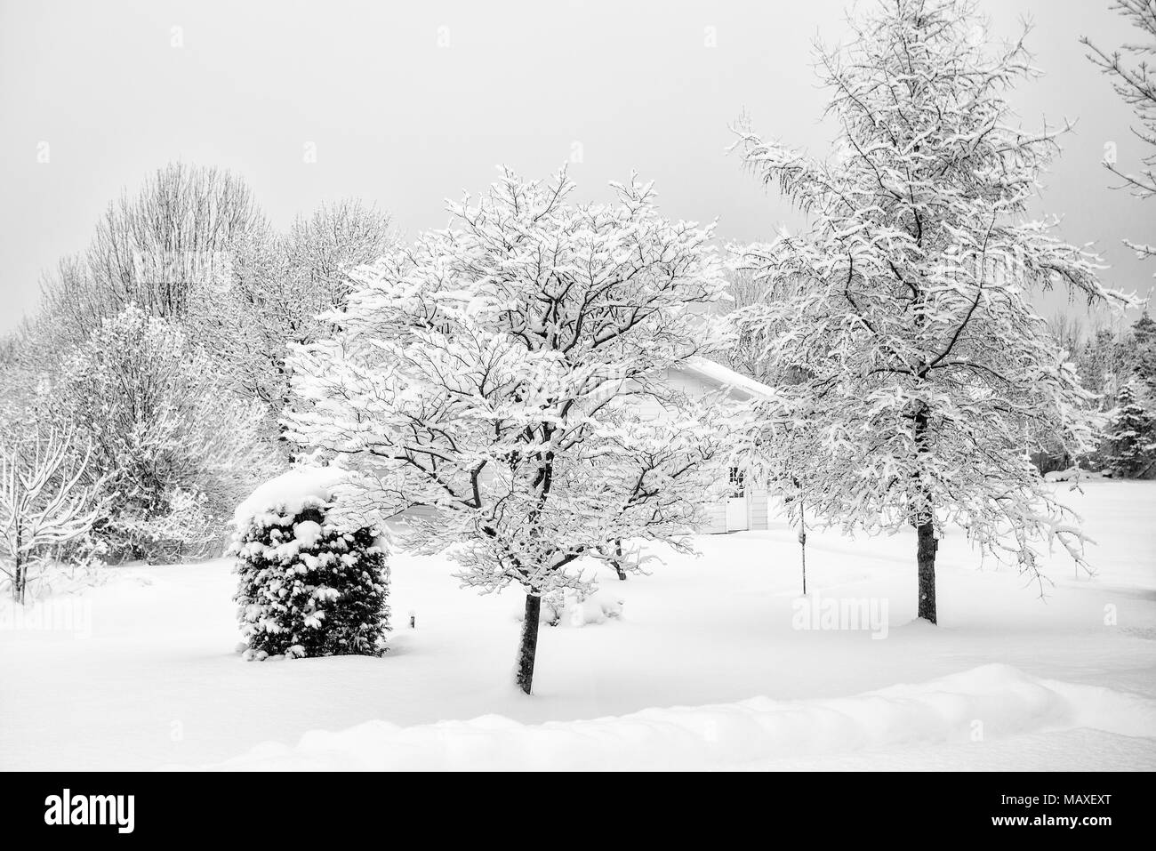 snow covered trees, Canada, Ontario, Meaford - Stock Image