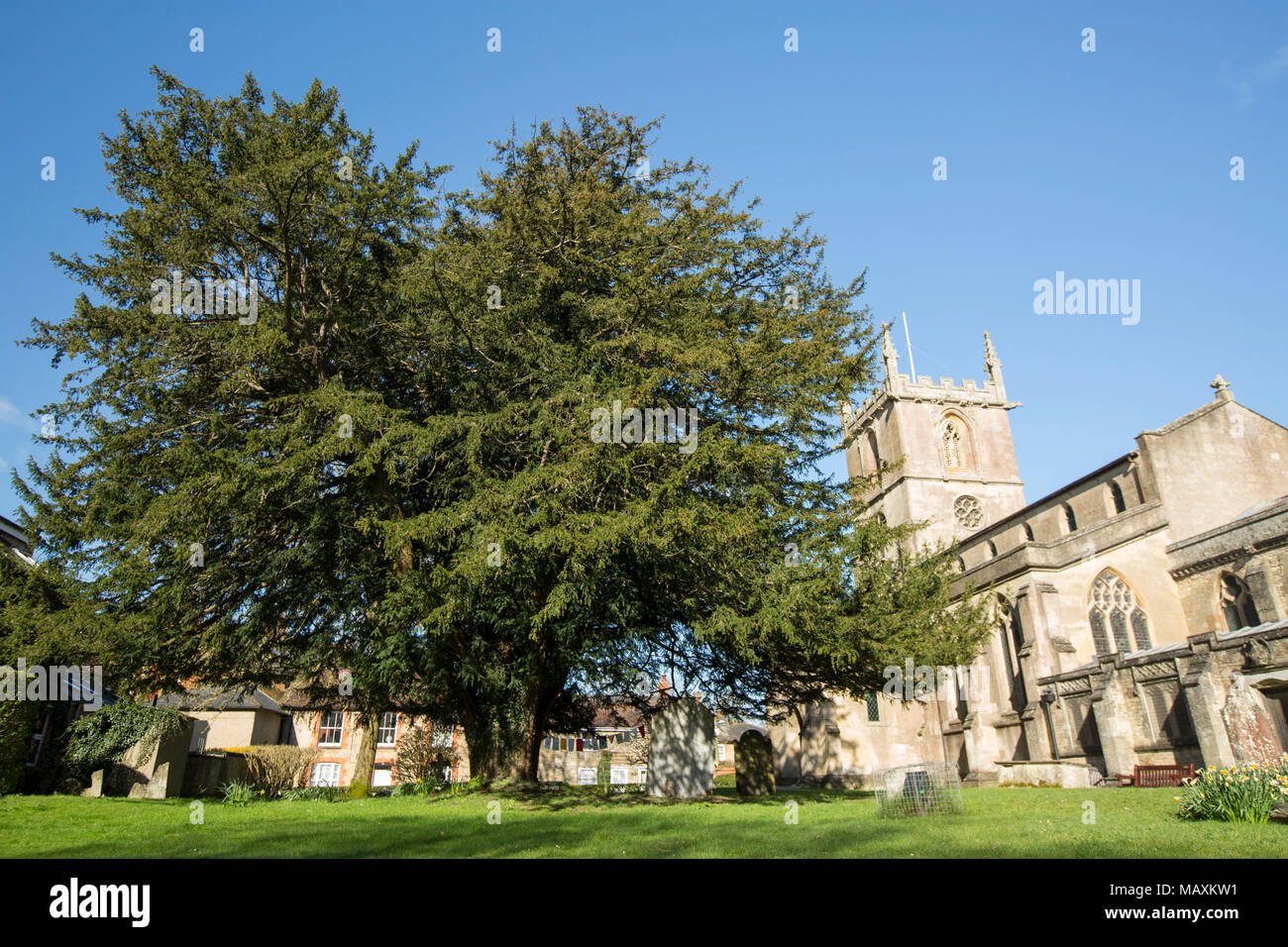 St. Mary the Virgin church, with a large yew tree in its grounds Gillingham Dorset England UK - Stock Image