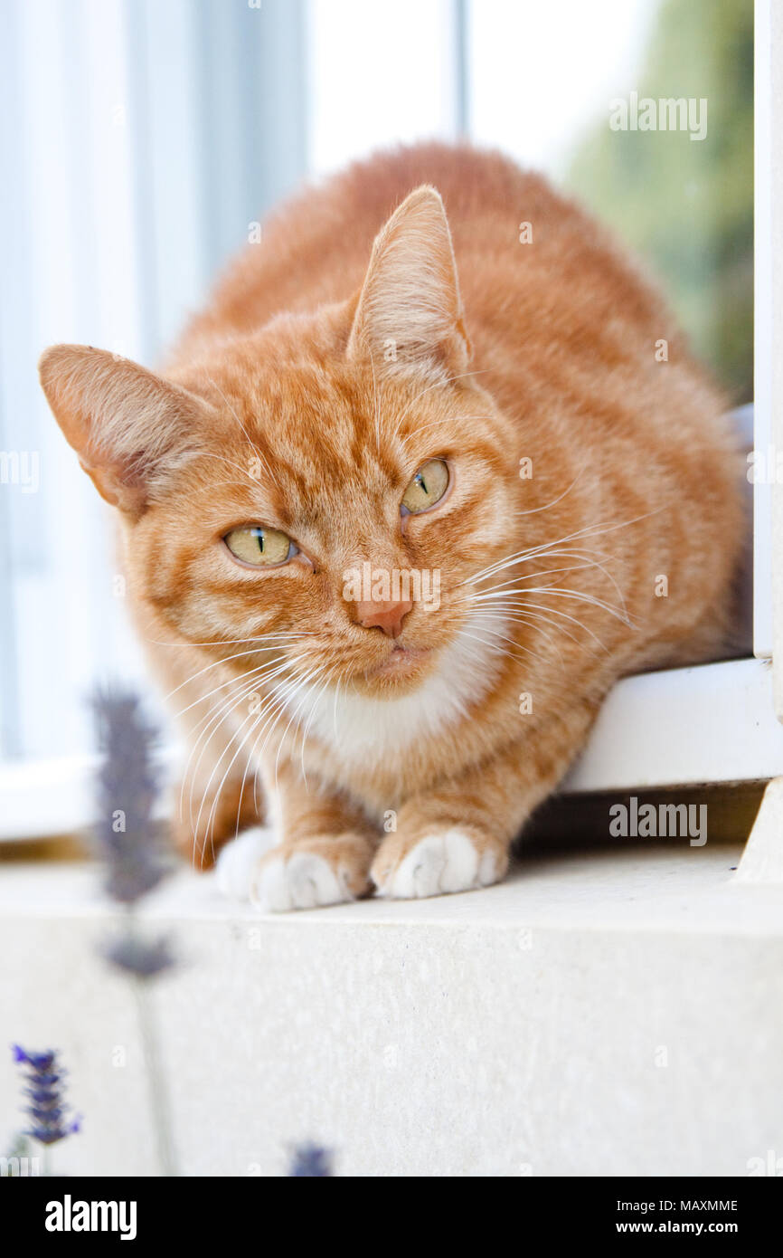 A pet ginger cat perched on a windowsill with lavender flowers in the foreground and trees reflected in the window behind. - Stock Image