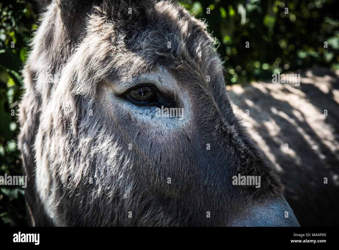 Close up portrait of a donkey's eye - Stock Image