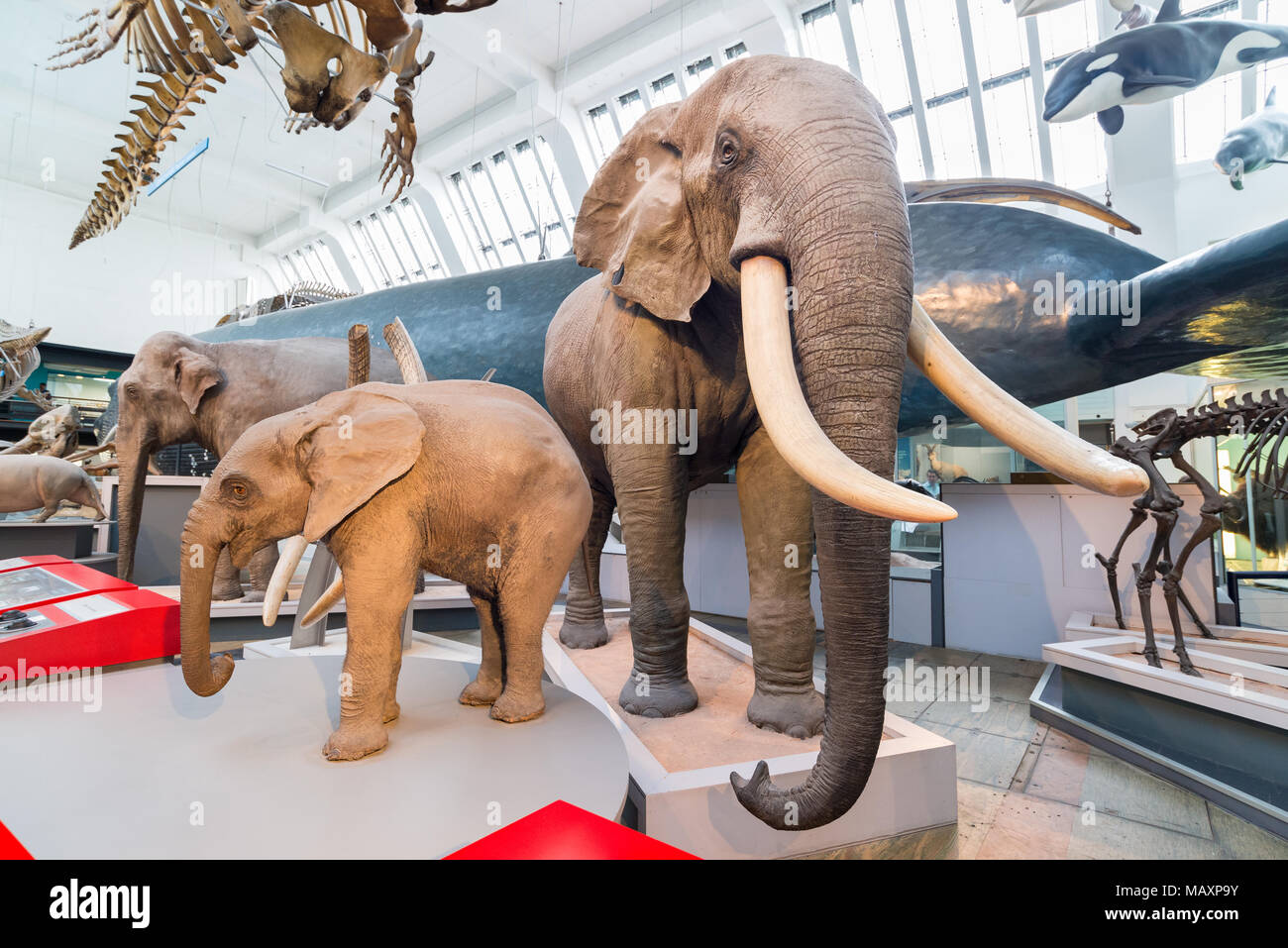 Models of mammals in the Natural History Museum, London, UK - Stock Image
