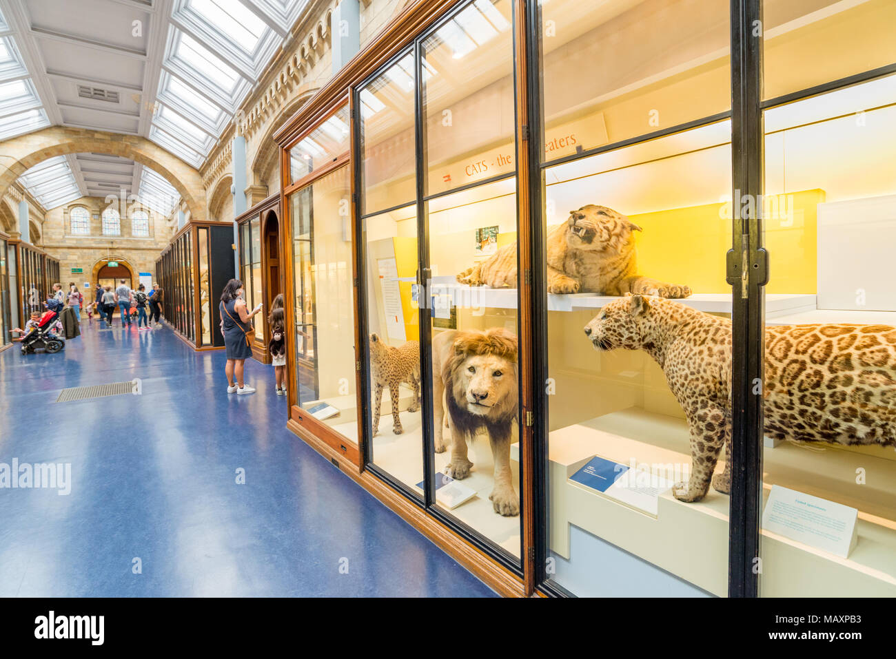 Stuffed big cats at the Natural History Museum, London, UK - Stock Image