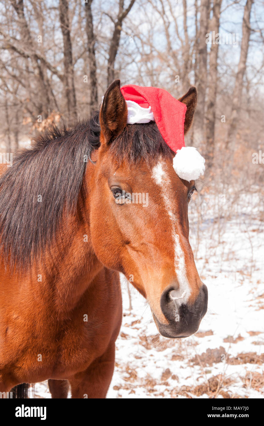 Red bay horse wearing a Santa hat, with a sweet expression on her face - Stock Image