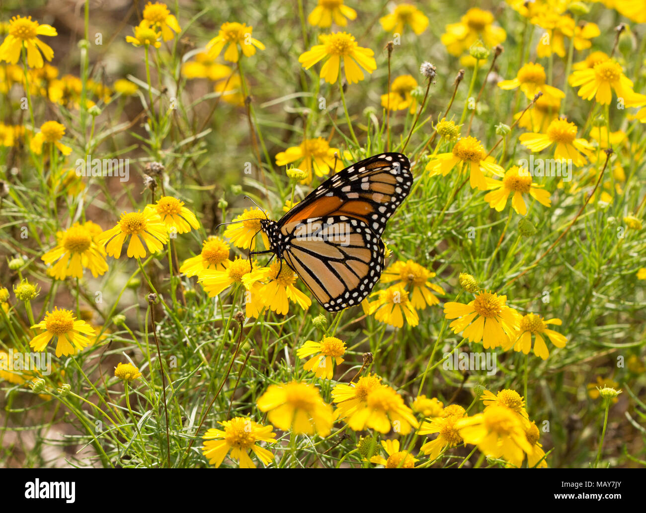 Migrating Monarch butterfly feeding on flowers in a field of bright yellow Sneezeweed - Stock Image