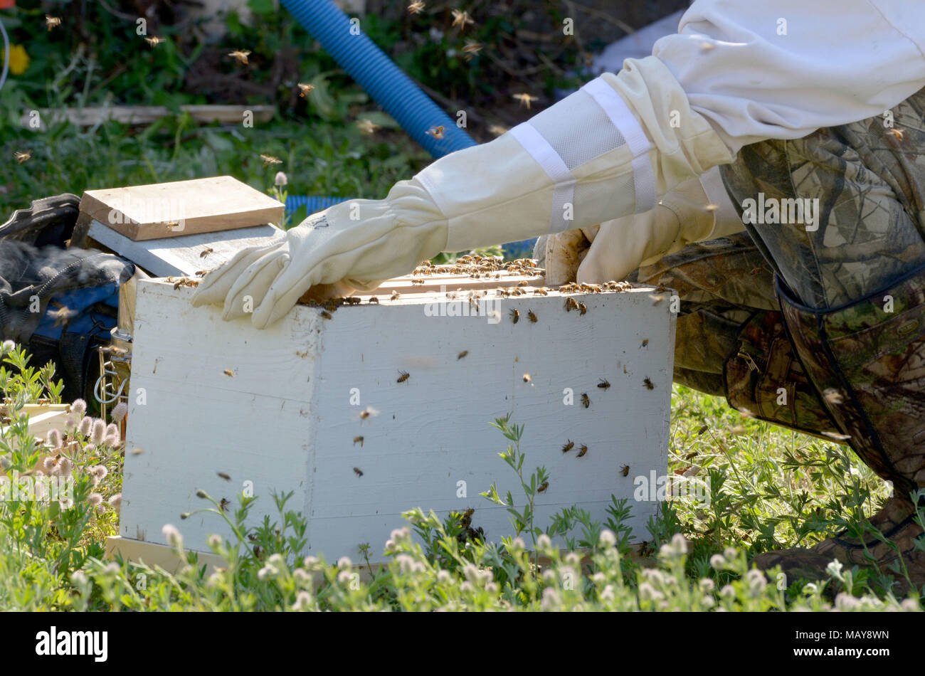 A beehive estimated to contain as many as 40,000 honeybees is