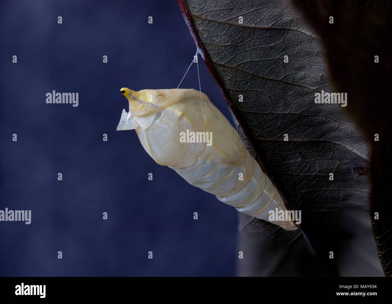 Pupal case of the Common Emigrant or Lemon Emigrant butterfly after eclosion - Stock Image