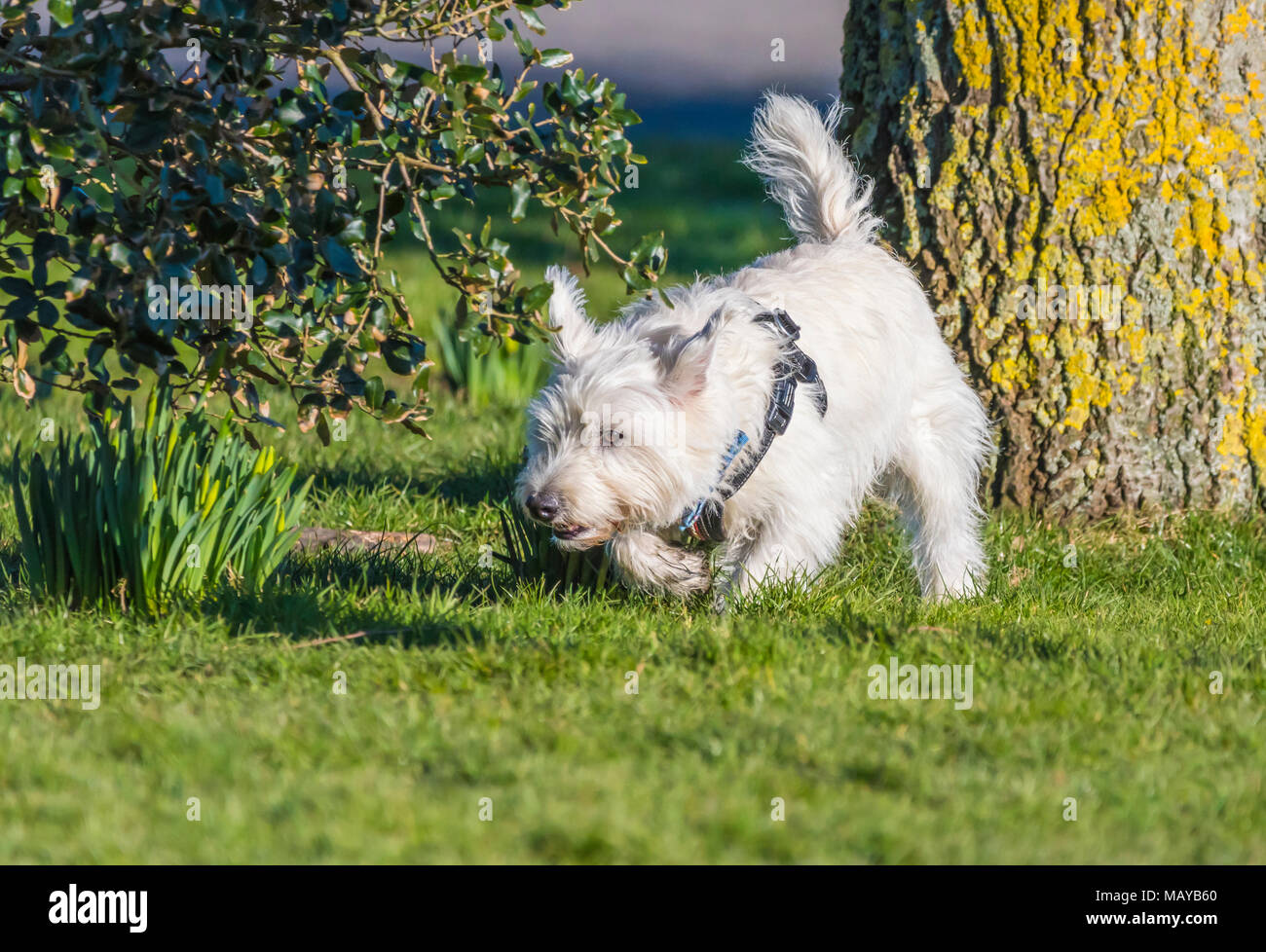 Cute Small White Dog In Park Stock Photos Cute Small White Dog In