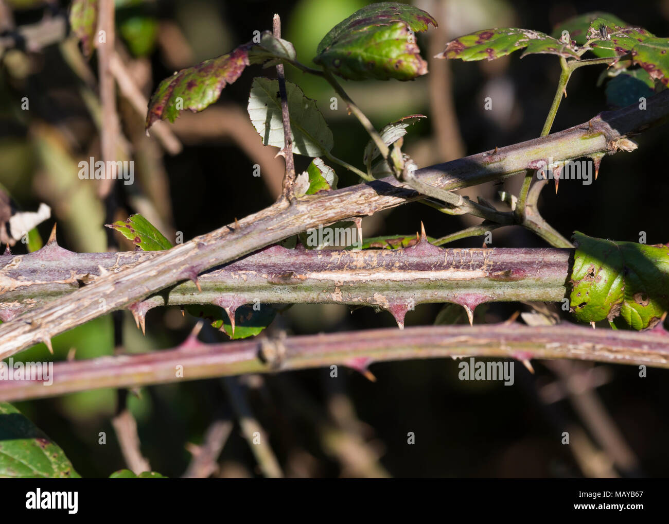 Overlapping thorny bramble twigs in Winter. - Stock Image