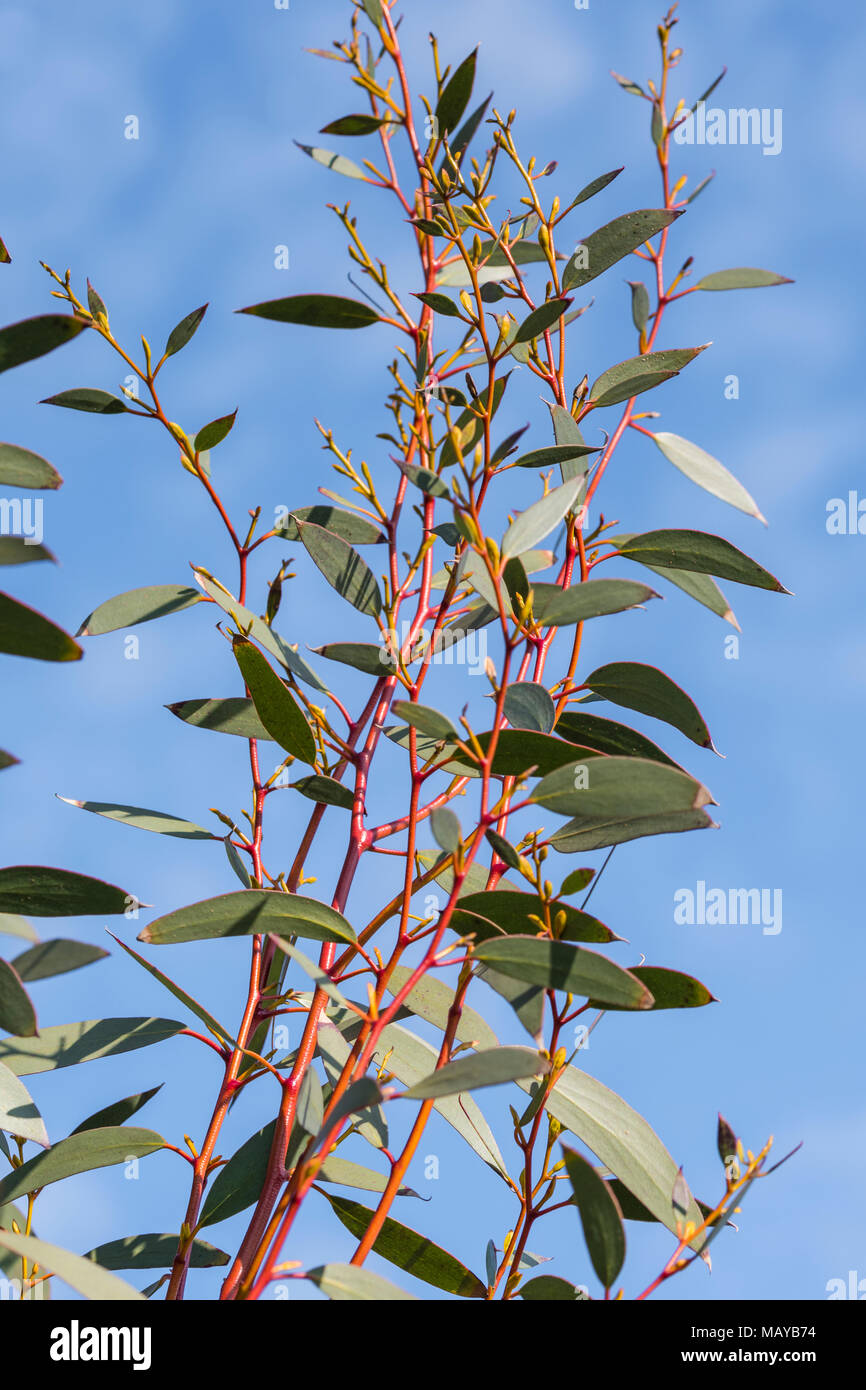 Leaves and red stems from a Gum Tree (Eucalyptus Tree) in early Spring in the UK. Stock Photo