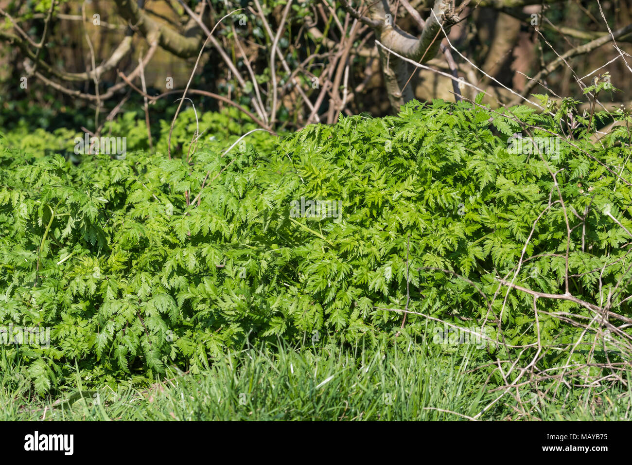 Cow Parsley (Anthriscus sylvestris, AKA Wild chervil, Wild beaked parsley, Keck) undergrowth growing in woodland under trees in Spring in the UK. - Stock Image