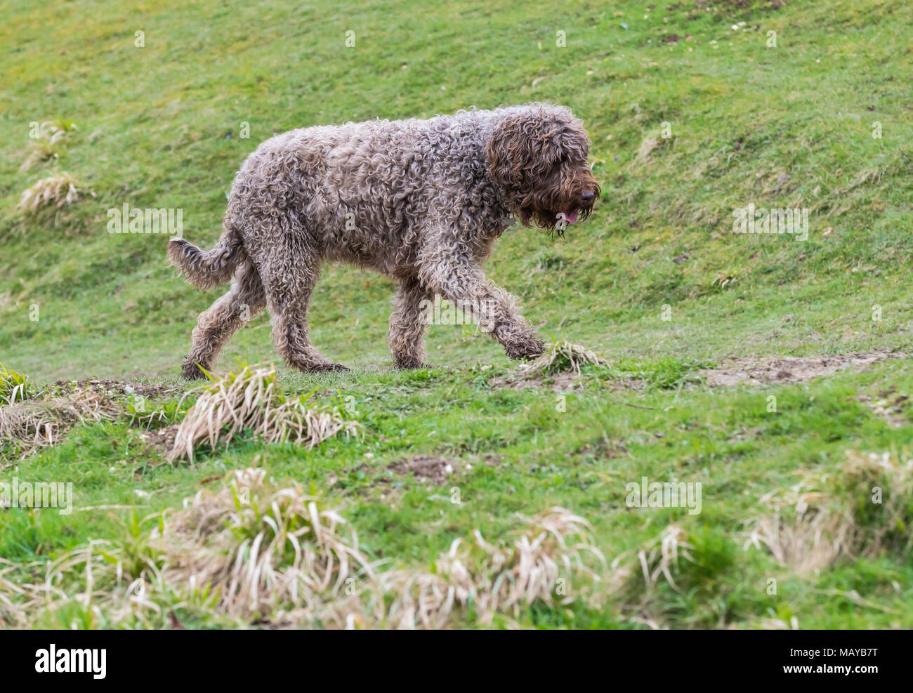 Side view of a walking Spanish Water Dog (Perro de agua Español) in the countryside in the UK. - Stock Image