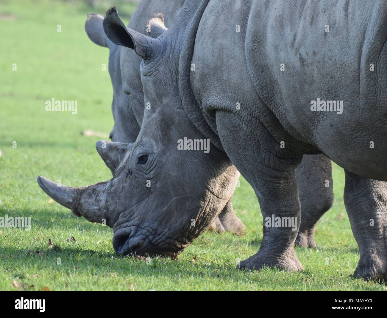White Rhinocerous grazing on grass on a sunny day - Stock Image