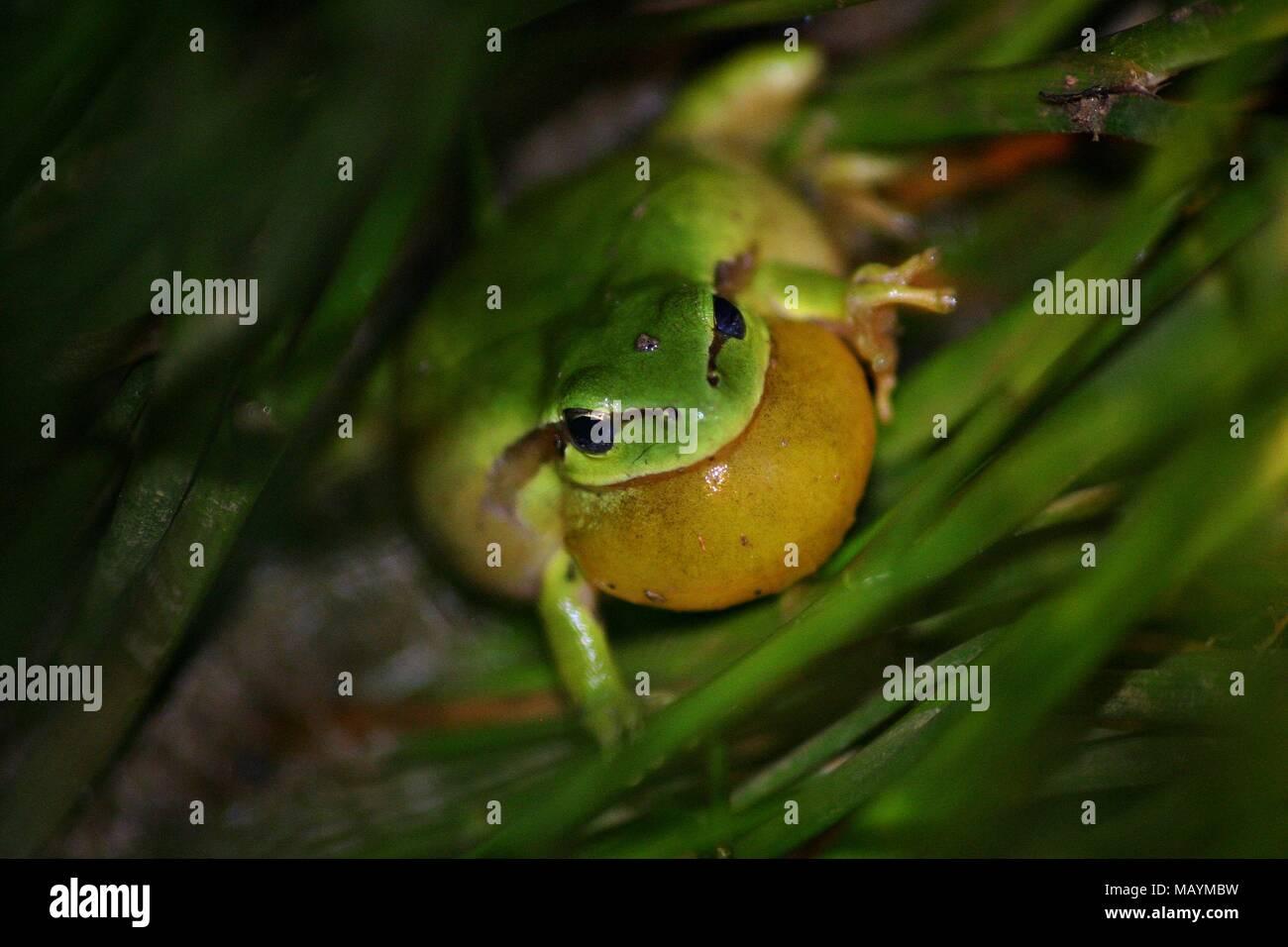 Mediterranian tree frog  male singing - Stock Image