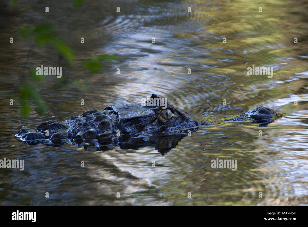 American crocodile (Crocodylus acutus) - Stock Image