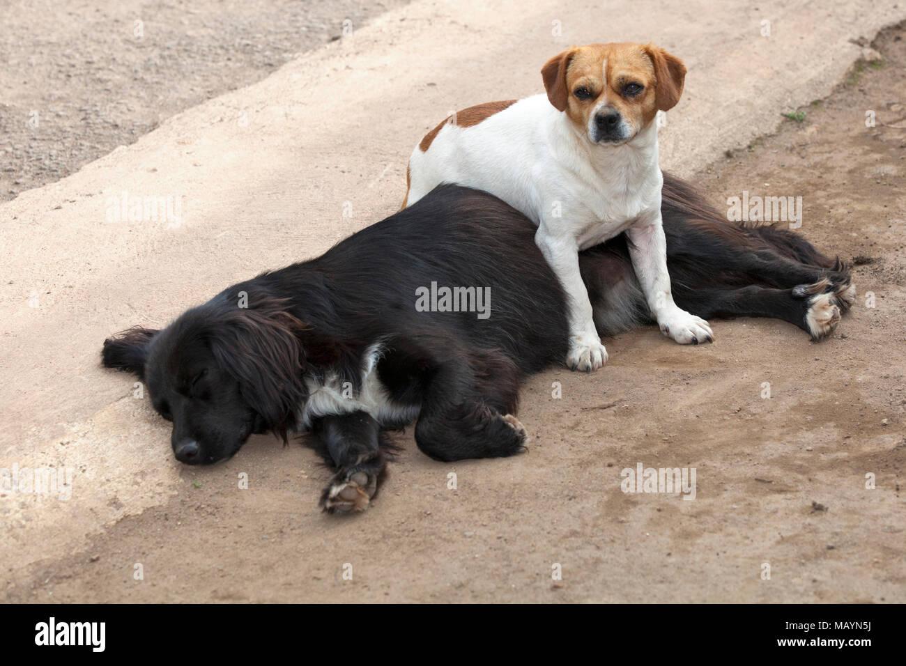 Small dog standing over sleeping big dog sleeping in the street - Stock Image