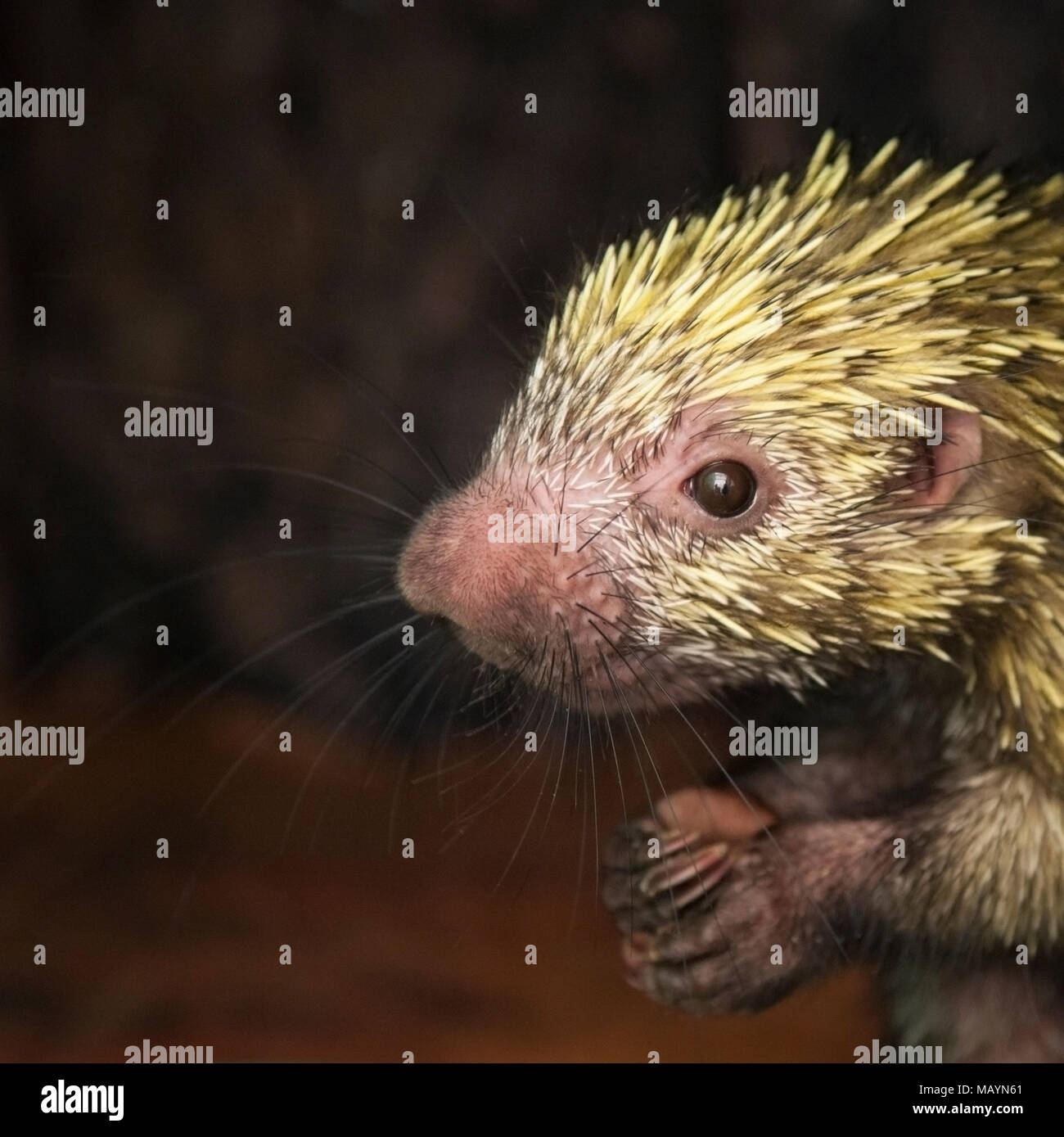 Mexican hairy dwarf porcupine (Coendou mexicanus)  in sanctuary - Stock Image