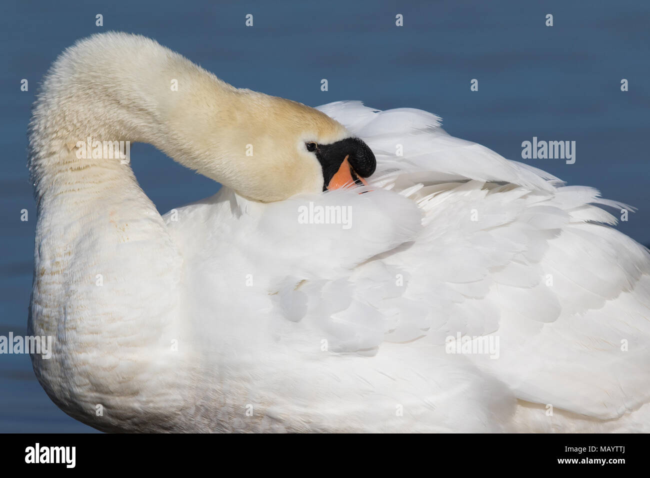 adult Mute Swan (Cygnus olor) preening its back feathers - Stock Image