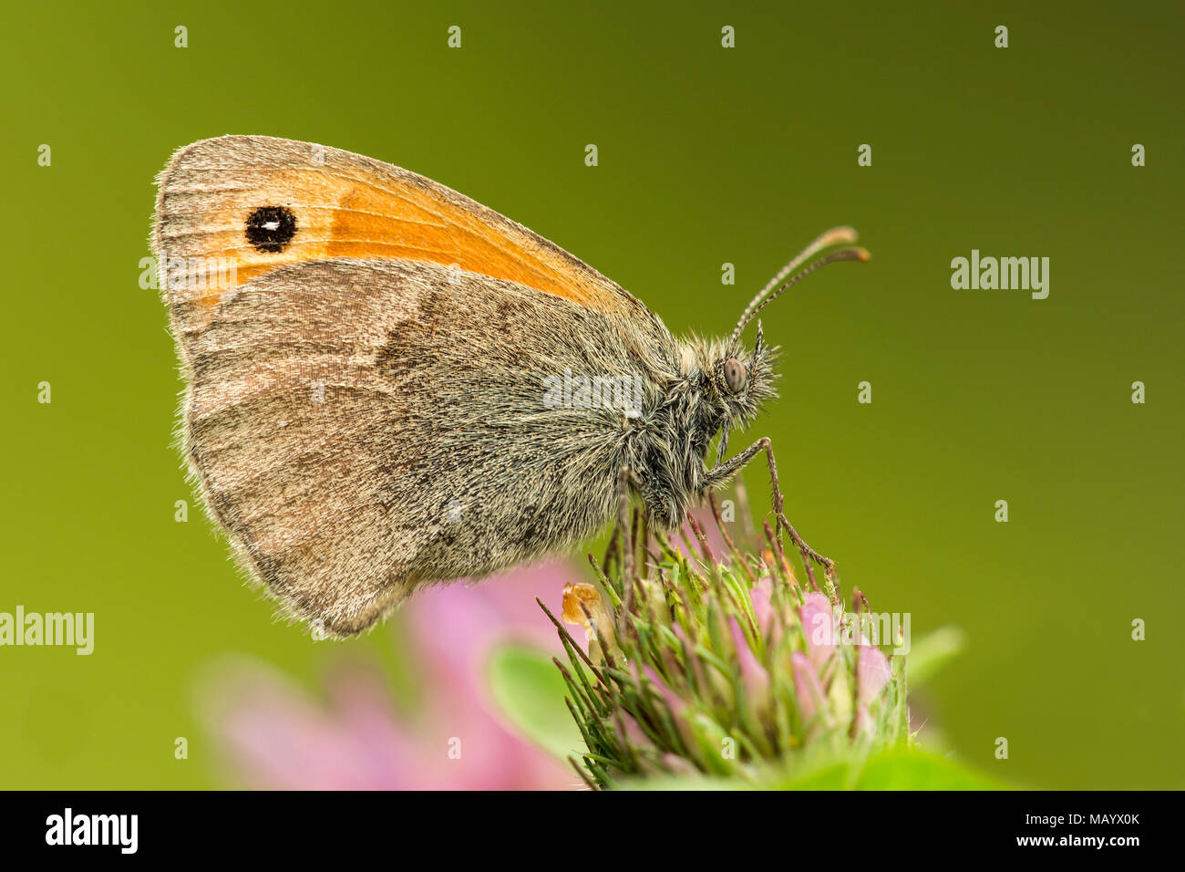 Small heath (Coenonympha pamphilus) on clover blossom, Burgenland, Austria - Stock Image