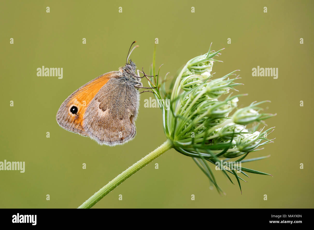 Small heath (Coenonympha pamphilus) on wild carrot (Daucus carota carota), Burgenland, Austria - Stock Image