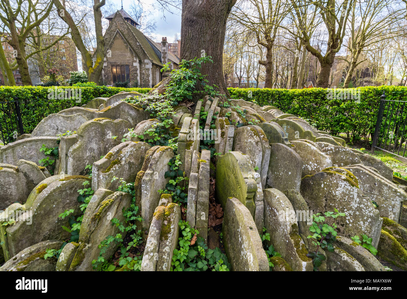 Headstones growing around the Hardy Tree in the churchyard of St Pancras Gardens, London, UK - Stock Image