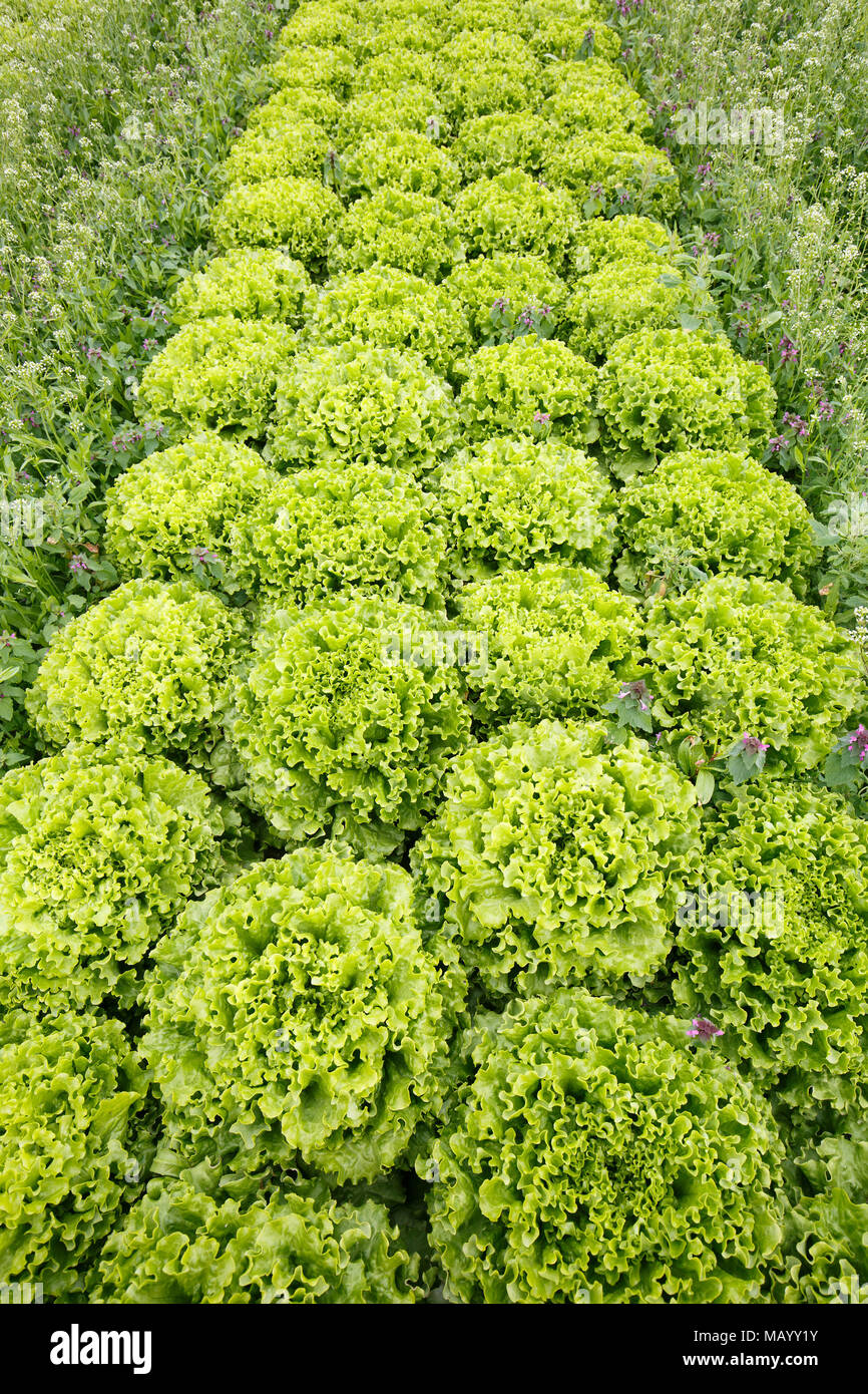Field with rows of grown lettuce heads, ready for harvesting. Agriculture industry, fresh produce, mass production and commercial trade concept and te - Stock Image