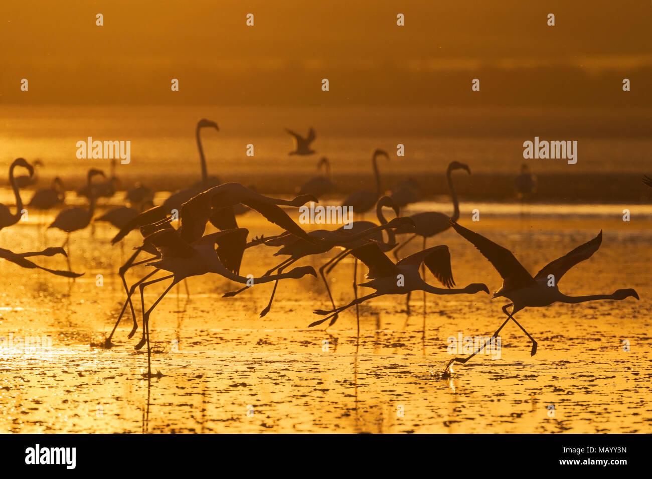 Greater Flamingos (Phoenicopterus roseus), in flight, at sunset, silhouette, Laguna de Fuente de Piedra, Malaga province - Stock Image