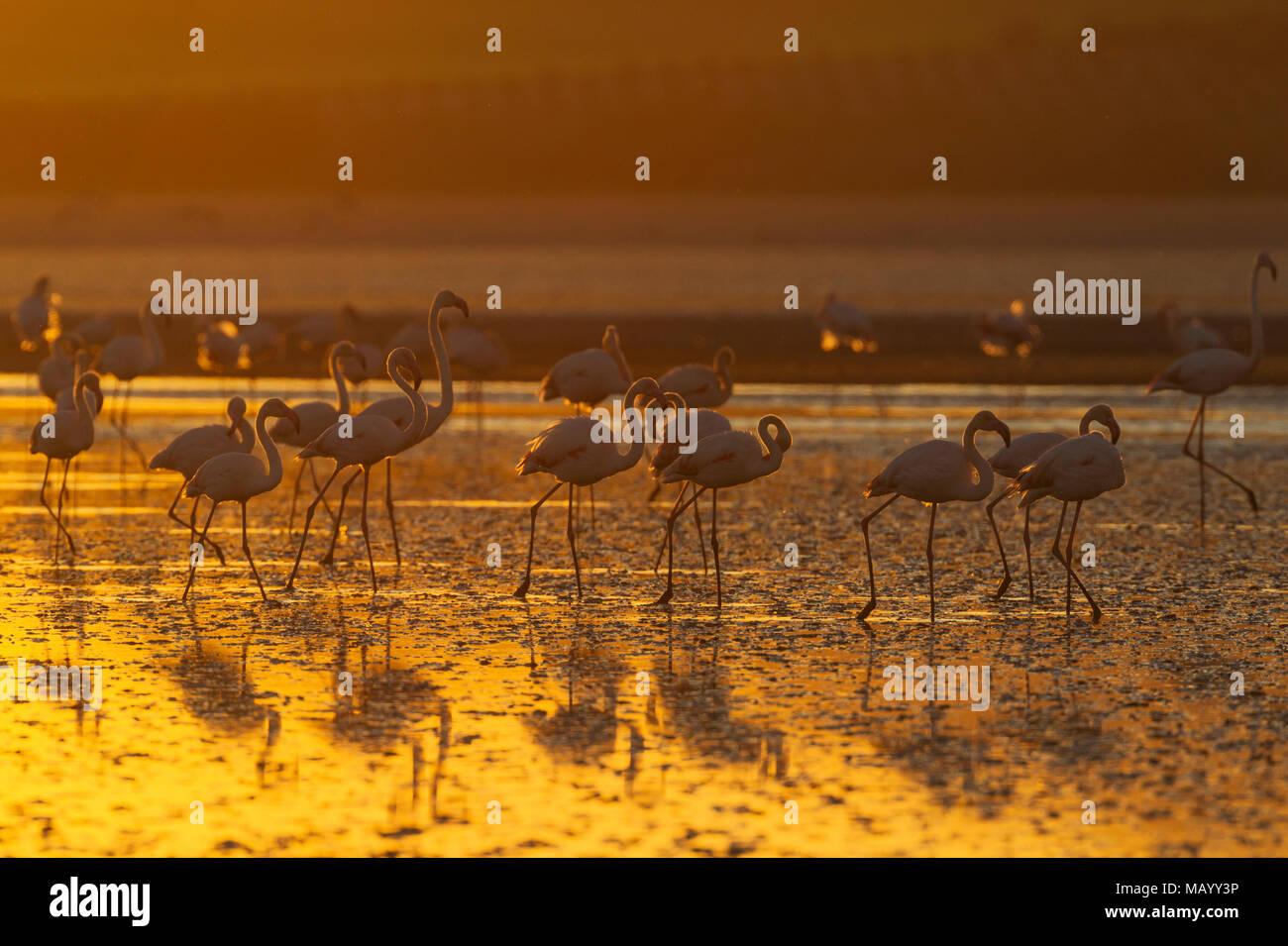 Greater Flamingos (Phoenicopterus roseus), at sunset, Laguna de Fuente de Piedra, Malaga province, Andalusia, Spain - Stock Image