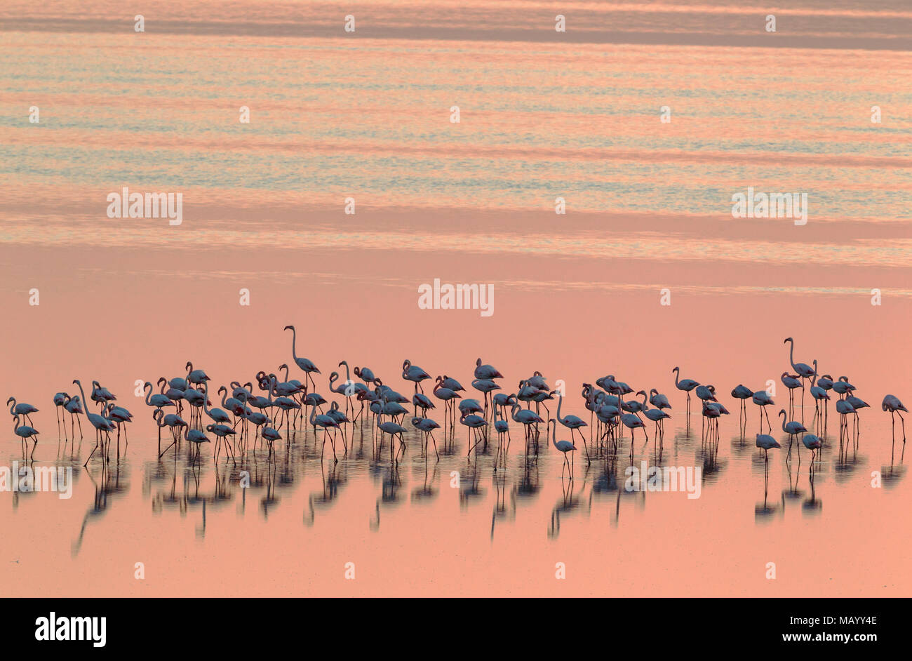 Greater Flamingos (Phoenicopterus roseus), resting at dusk, Laguna de Fuente de Piedra, Malaga province, Andalusia, Spain - Stock Image