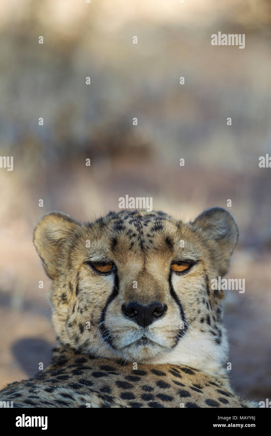 Cheetah (Acinonyx jubatus), resting male, animal portrait, captive, Namibia - Stock Image