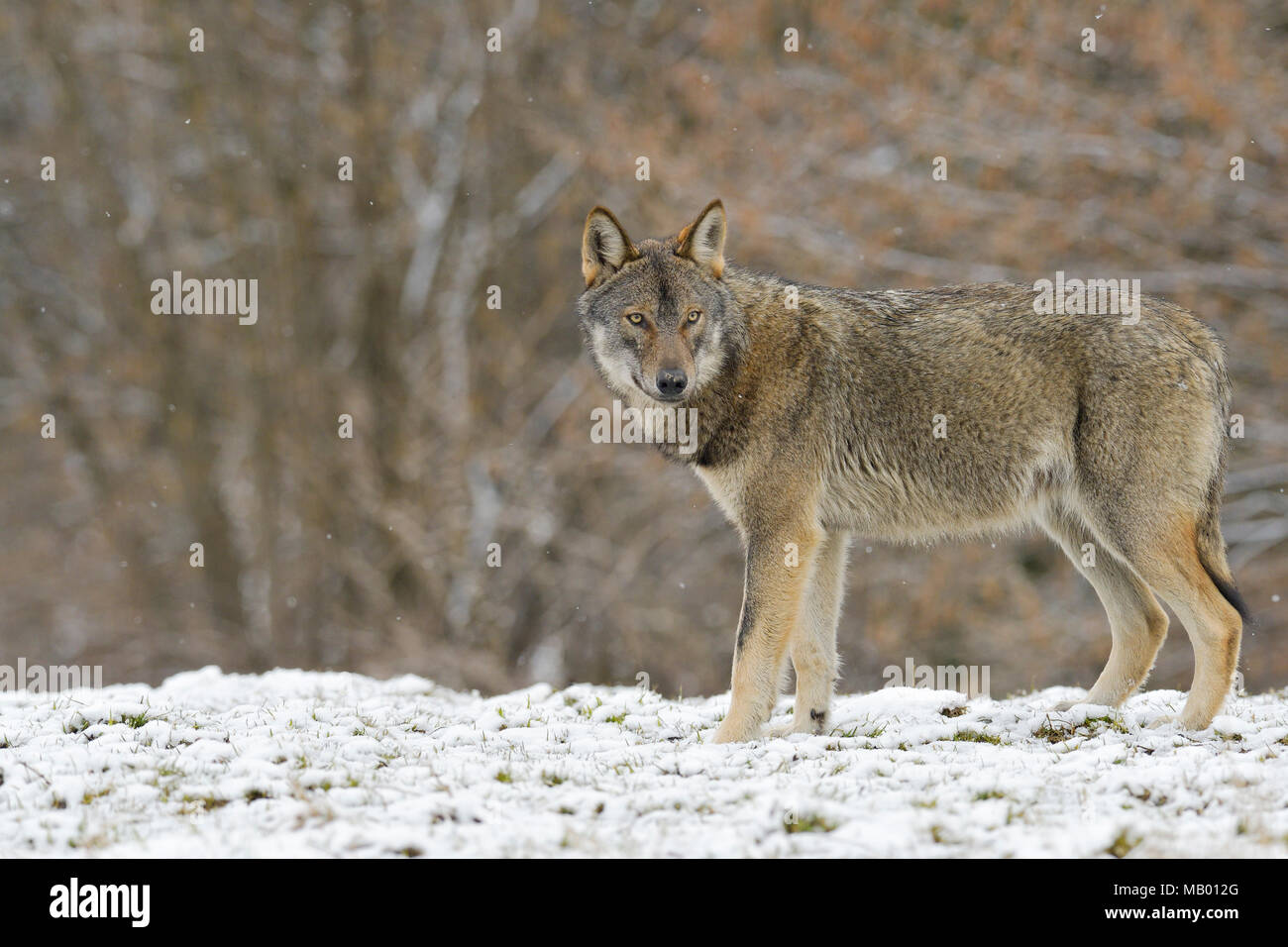 Eurasian Wolf (Canis lupus lupus) on a clearing in winter, Forest Carpathians, Forest Carpathians, Poland Stock Photo