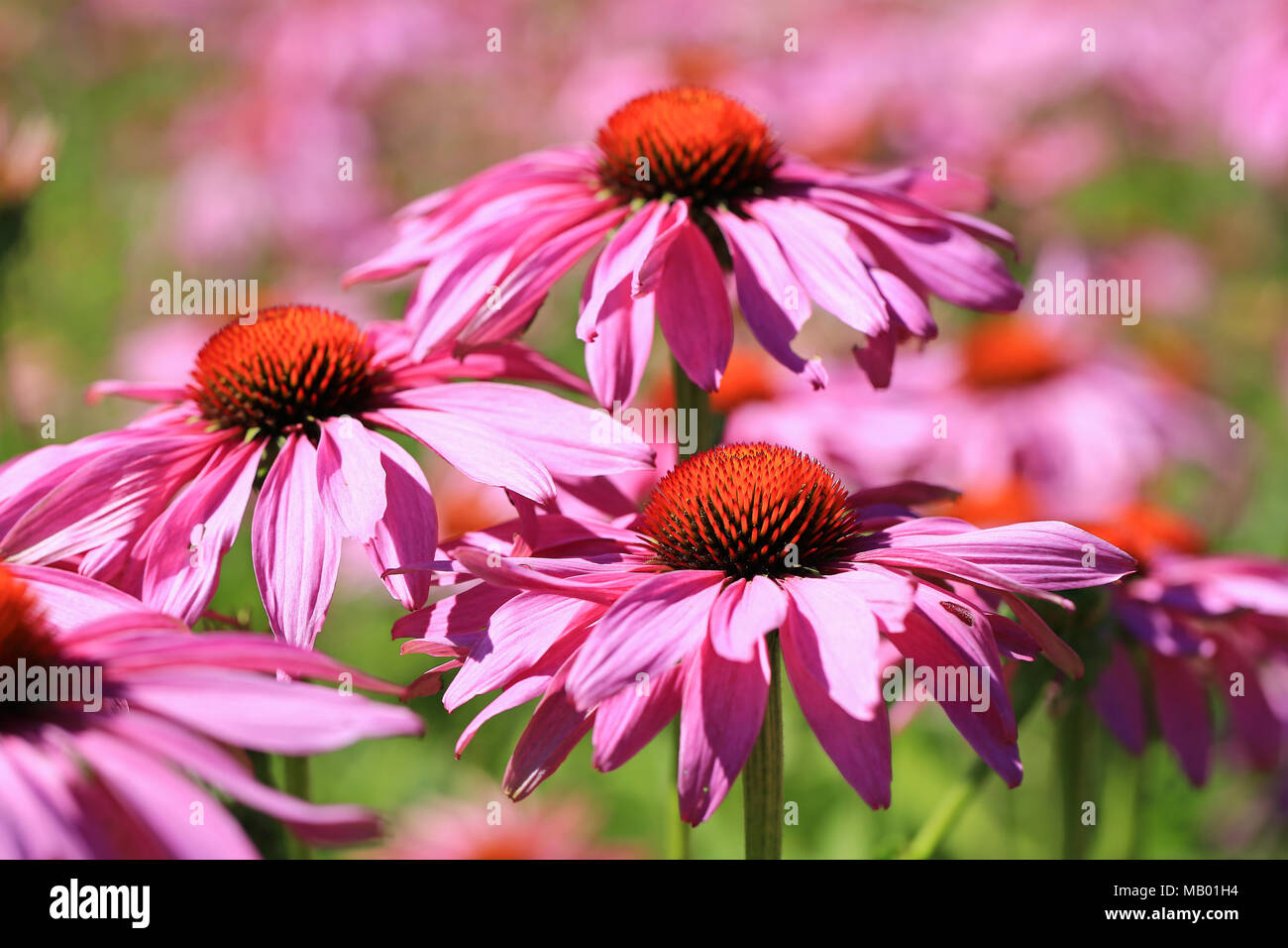 Flowers of Echinacea purpurea or Eastern Purple Coneflower blossoming in the garden at summer. - Stock Image
