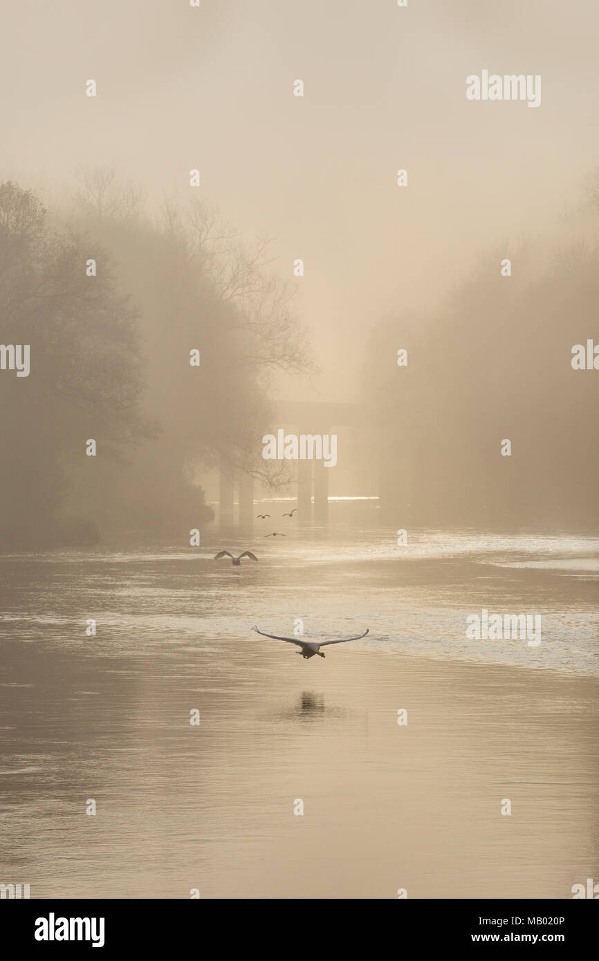Swans in flight at dawn on the River Wye. - Stock Image
