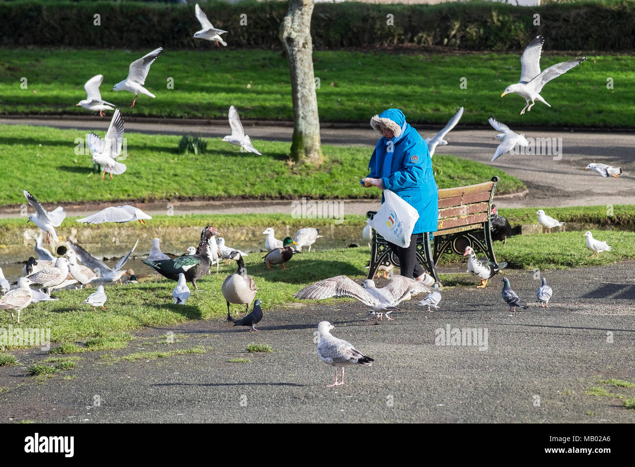 A woman feeding various types of seagulls in Trenance Park in Newquay in Cornwall. - Stock Image