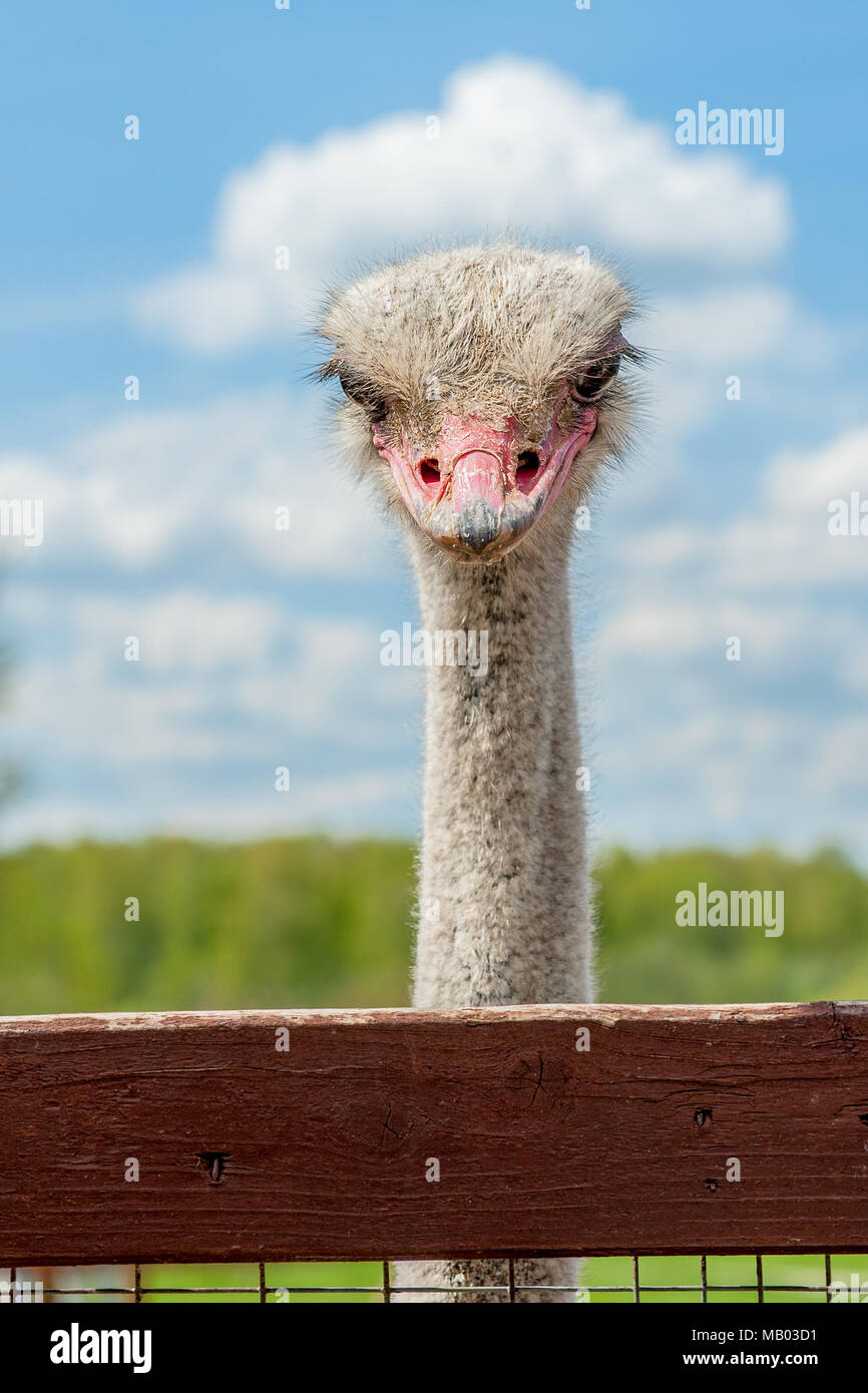 Ostrich head close up on a ostrich farm. Ostriches in the corral on the farm. Funny and strange ostrich with a cloud on his head looks in the frame wi - Stock Image