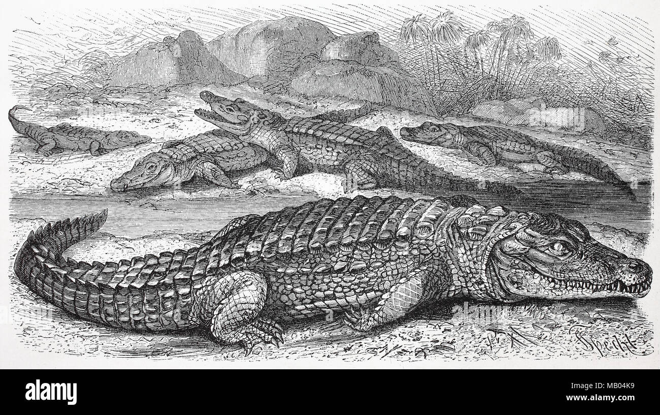 Nilkrokodil, Crocodylus niloticus, afrikanisches Krokodil.  Nile crocodile, Crocodylus niloticus, is an African crocodile, digital improved reproduction of an original print from the year 1895 - Stock Image