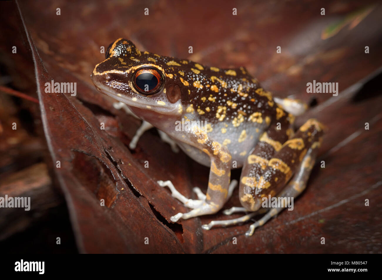 Spotted stream frog Hylarana picturata - Stock Image