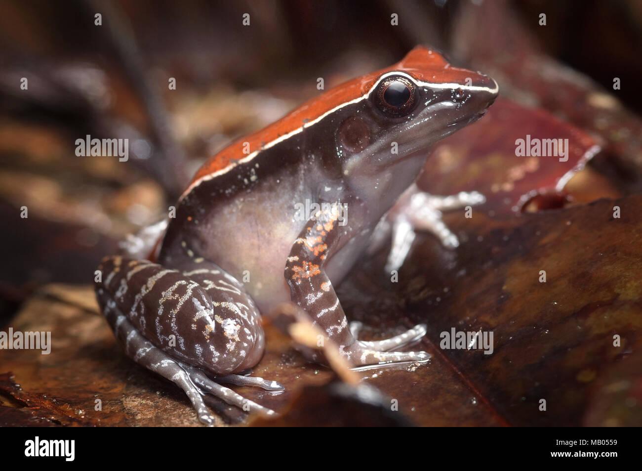Mahogany frog Hylarana luctuosa - Stock Image