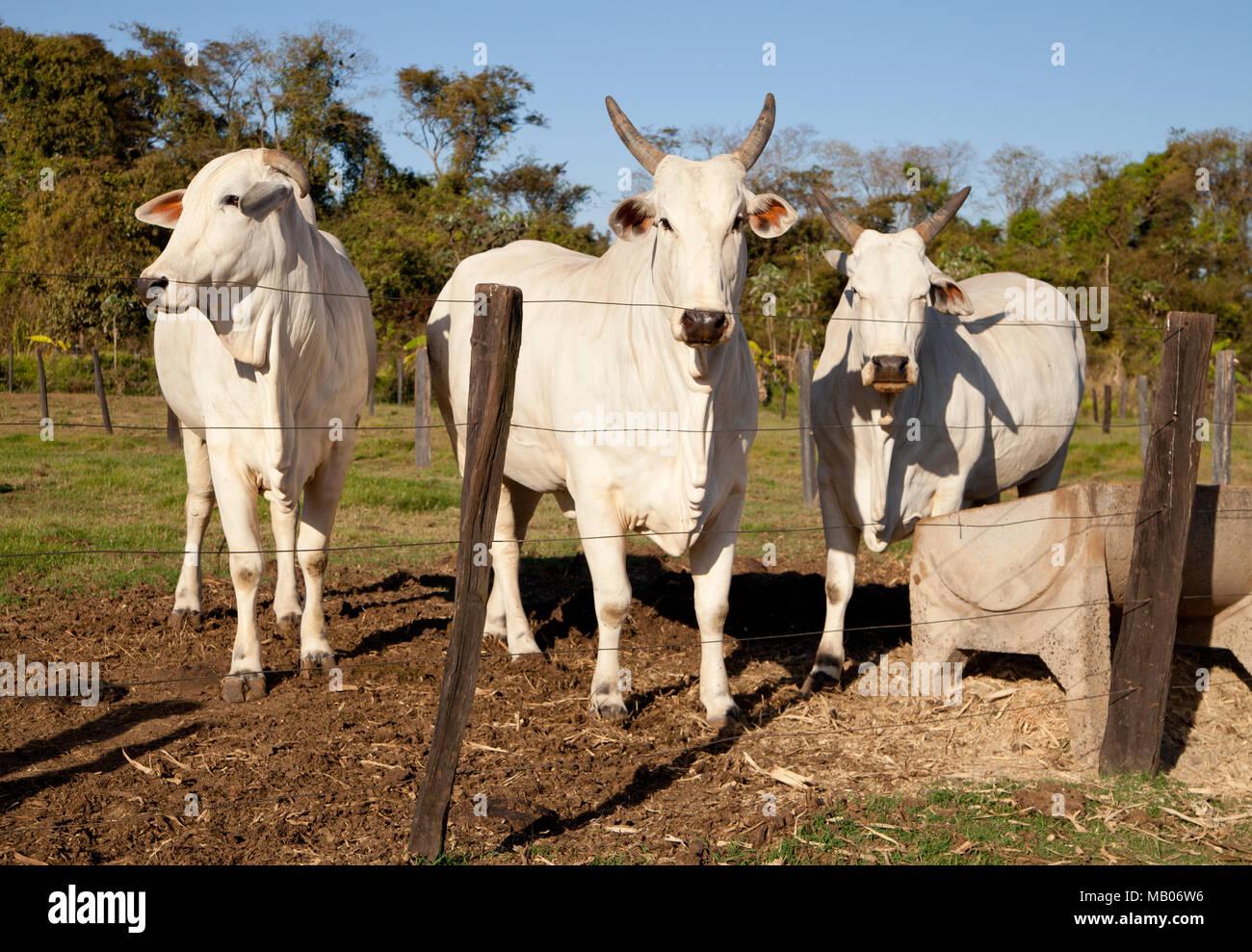Gado Nelore na Fazenda - Stock Image