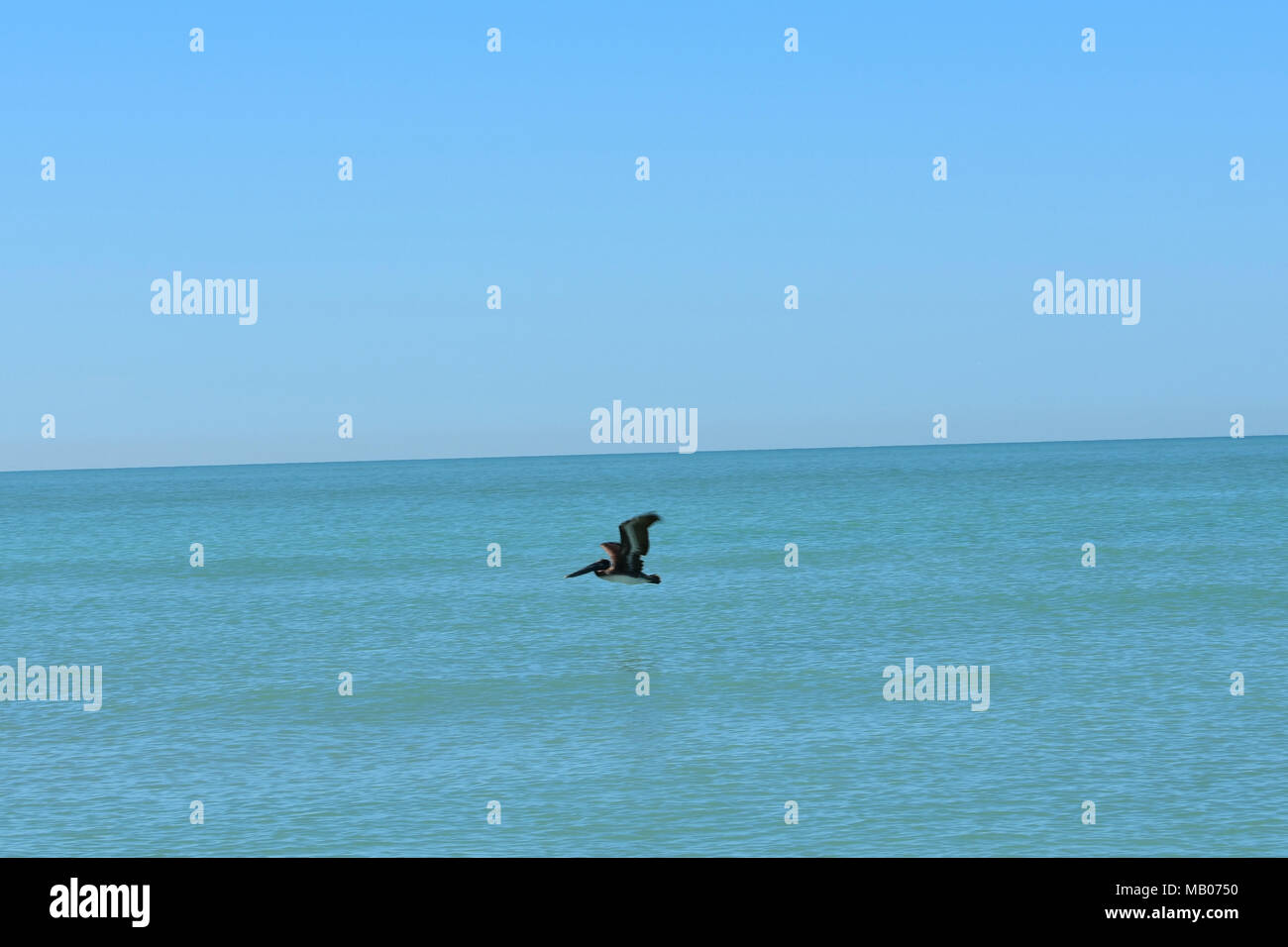 Low flying Pelican over the Gulf - Stock Image