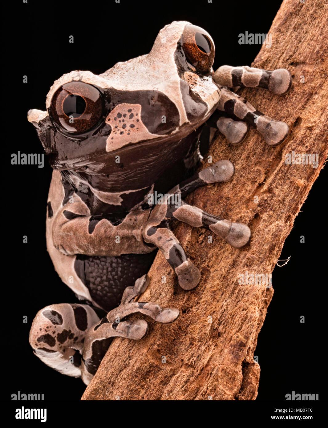 Spiny headed tree frog, Anotheca spinosa. A beautiful tropicla rain forest animal of the Amazonian jungle. Amphibian macro. - Stock Image