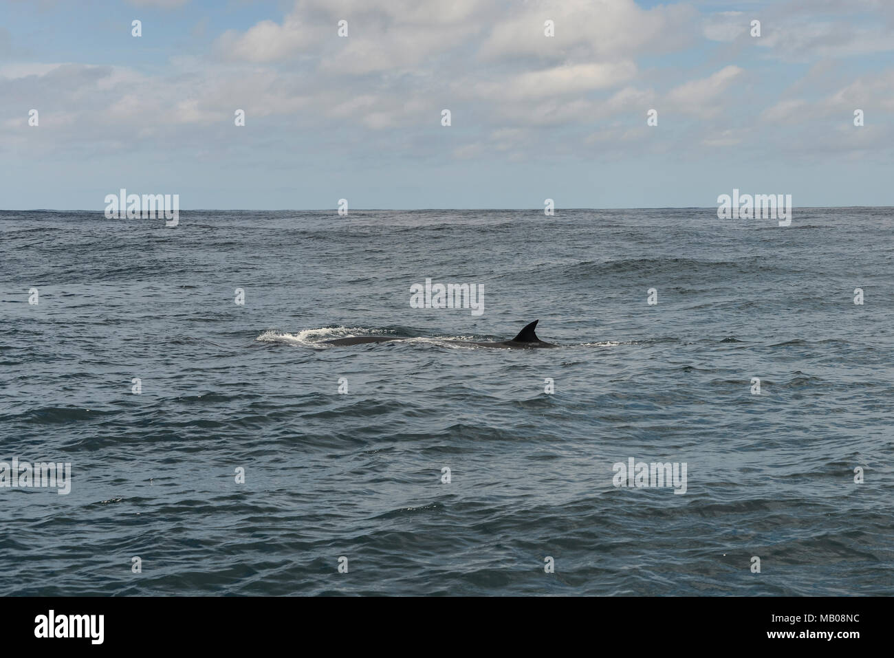 A Bryde's whale (Balaenoptera edeni) in the Indian Ocean off the Coast of Plattenberg Bay, South Africa - Stock Image