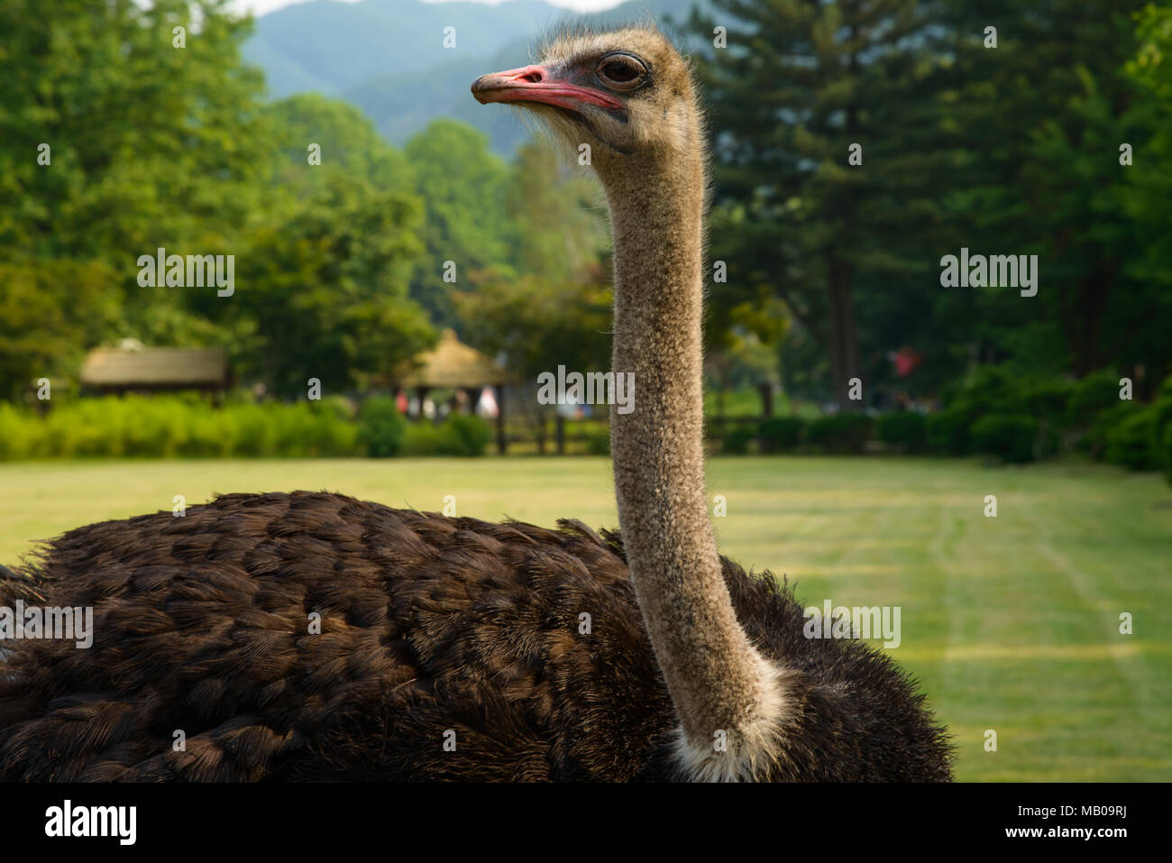 An Ostrich in the park - Stock Image