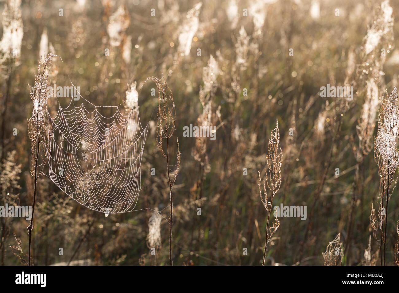 Spinnennetze, Spinnennetz im Herbst, herbstlichen Morgentau, Tautropfen, Altweibersommer. cobweb, cobwebs, spider's web, spiderweb, spider's webs, spi - Stock Image
